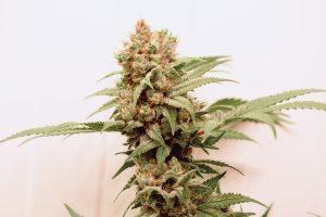 CBG Force Cannabis plant